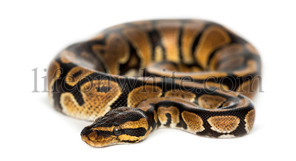 Royal python, Python regius, isolated on white