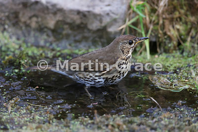 Song Thrush (Turdus philomelos) standing in my pond, Lake District National Park, Cumbria, England