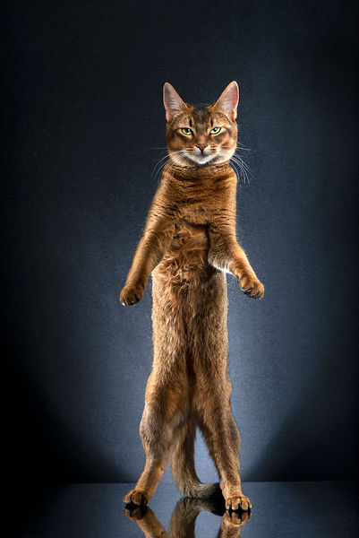 STANDING CATS - CALI