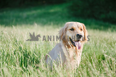 A golden retriever sitting in a field of tall green grasses