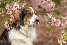 A shepherd dog sitting in pink flowers