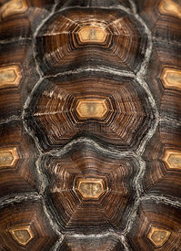 Close-up of an African Spurred Tortoise\'s carapace, Geochelone sulcata, isolated on white