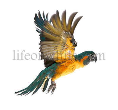 Blue-throated Macaw, Ara glaucogularis, 4 months old, flying in front of white background
