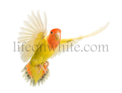 Portrait of Rosy-faced Lovebird flying, Agapornis roseicollis, also known as the Peach-faced Lovebird in front of white backg...