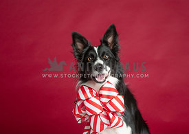 Border Collie with Christmas bow