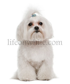 Bichon frise, 7 years old, in front of white background