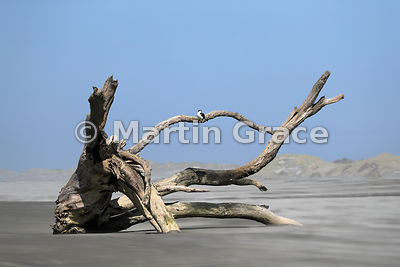 Pied Shag (Phalacrocorax varius varius) perching on a dead, washed-up tree embedded in the wind-blown swirling sands of Farew...