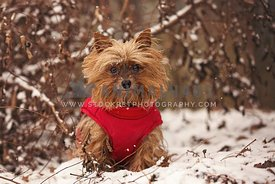 Yorkie wearing red winter coat sitting in the snow