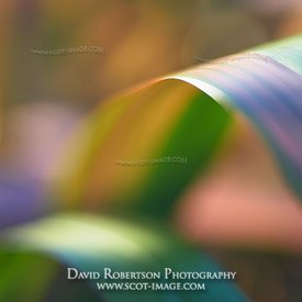 Prints & Stock Image - Abstract image of the leaves of Phormium, New Zealand Flax, a herbaceous perennial monocot.