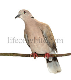 Eurasian Collared Dove perched on branch, Streptopelia decaocto, most often simply called the Collared Dove against white bac...
