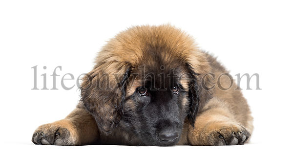 Leonberger puppy lying against white background