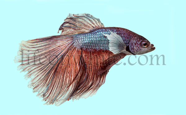Side view of a Siamese fighting fish, Betta splendens, on a blue background