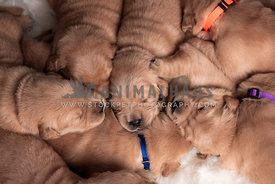 close up, overhead shot of eight sleeping 2 week old puppies