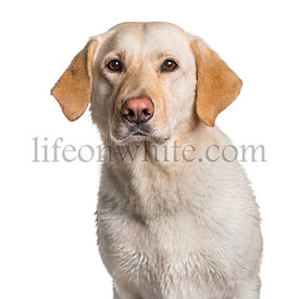 Labrador looking at camera against white background
