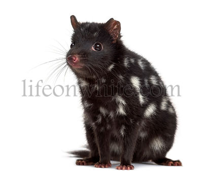 Quoll sitting isolated on white