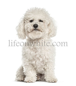 White bichon sitting, isolated on white