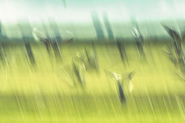 Geese taking off - abstract  lemon-green