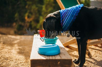 Older Black Lab drinking from a collapsible water bowl