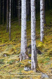 Image - Three white tree trunks in forest near Invergarry, Highland, Scotland