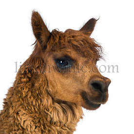 Close-up of Alpaca looking away against white background
