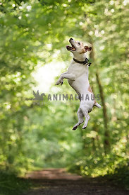 Jack Russel Terrier jumping high