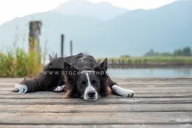 border collie sleeping on wooden deck with mountains in background