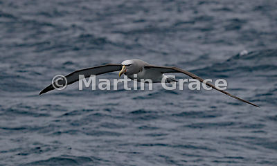 Salvin's Mollymawk (Salvin's Albatross) (Thalassarche salvini) in flight in heavy rain, Kaikoura Coast, Canterbury, South Isl...