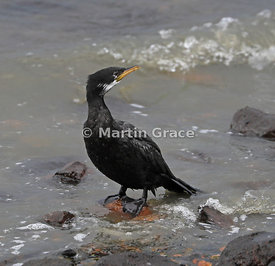 White-throated morph of Little Shag (Phalacrocorax melanoleucos brevirostris), Dunedin Harbour, South Island, New Zealand