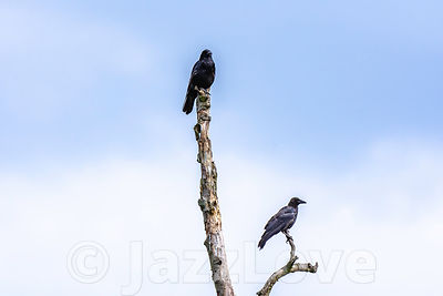 Two crows perching on death, dry tree trunk.