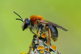 Closeup of a female red-tailed mining bee, Andrena haemorrhoa on a lichen covered twig