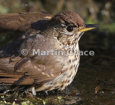 Close-up image of a Song Thrush (Turdus philomelos) in angled evening sunlight, Lake District National Park, Cumbria, England