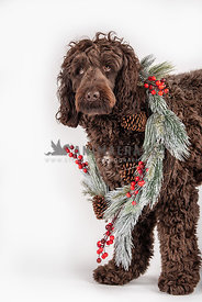 large chocolate doodle wearing Christmas wreath around neck