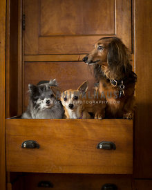 3 small dogs peak out from wooden chest of drawers