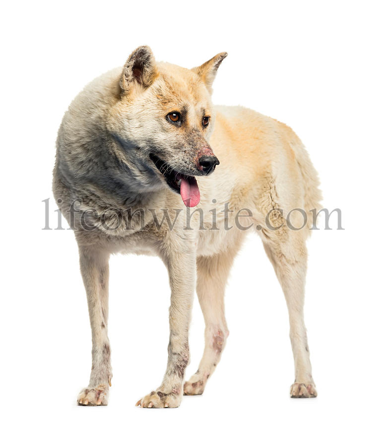 Maltreated Akita Inu in front of white background