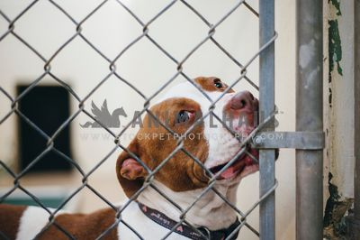 A large dog looking through the chain link fence at an animal shelter