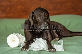 lab hound mix caught tearing up roll of toilet paper