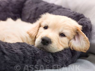 Golden Retriever puppy