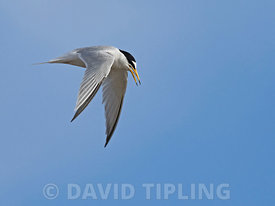 Little Tern Sternula albifrons in flight Titchwell Norfolk May
