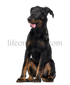 Beauceron (4 months old) in front of a white background