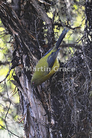 Bellbird (Anthornis melanura), Mou Waho Island, Lake Wanaka, Otago, South Island, New Zealand