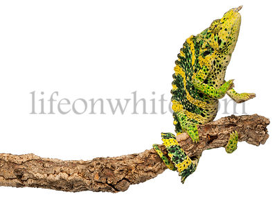 Meller's Chameleon, Giant One-horned Chameleon, Chamaeleo melleri, perched on branch in front of white background