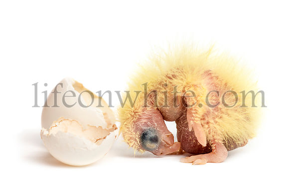 Cockatiel next to the egg from which he hatched out, 2 days old, isolated on white
