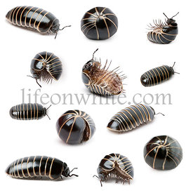 Collection of Glomeris marginata. Is a common European species of pill millipede