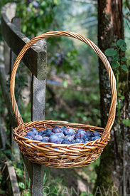 Basket filled with plum quetsches 'Stanley' in summer, Alsace, France∞Panier rempli de prunes 'Stanley', France, Alsace, été
