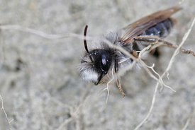 A male  grey-backed mining bee, Andrena vaga, hanging on unearthed roots of vegetation