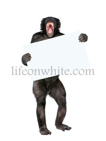 Mixed breed between Chimpanzee and Bonobo holding blank posterboard, 20 years old