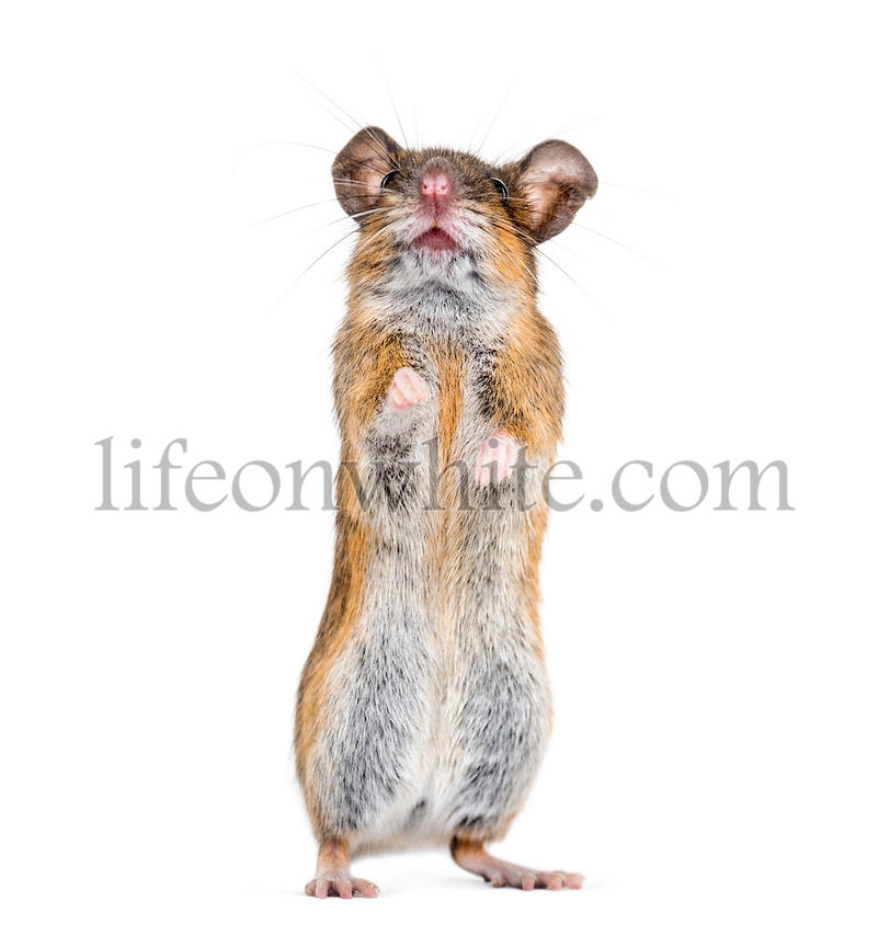 Eurasian mouse, Apodemus species, rearing up in front of white background