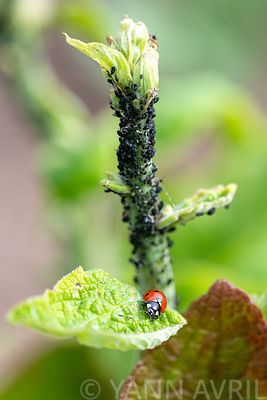 Sevenspotted lady beetle (Coccinella septempunctata) on a foxglove leaf covered with black aphids in spring, Moselle, France∞...