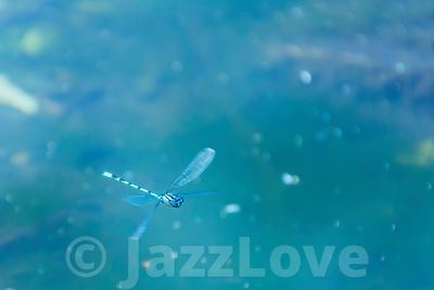 Damselfly flying above lake surface