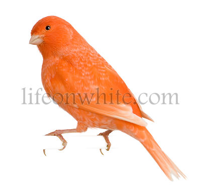 Red canary, Serinus canaria, perched in front of white background
